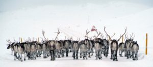 Reindeer taking over the road